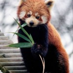 panda firefox