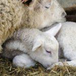 Dalle Migliori Pecore Nasce la Lana Migliore